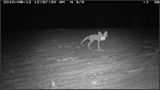 Photograph from a camera trap in Kenya showing a mammal at night, eyes lit up by the flash